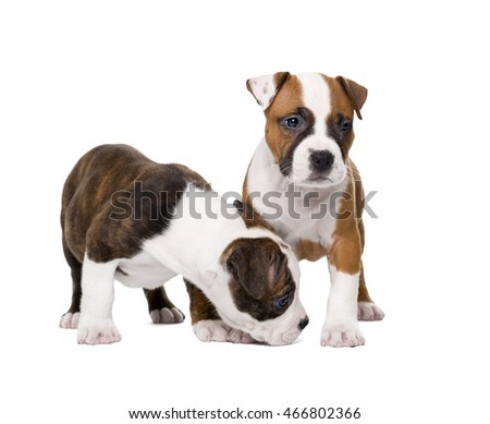 Two amstaff puppy on white background in Studio