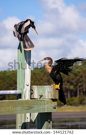 Two Anhinga Darters on a dock getting some sun