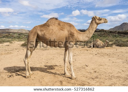 Two Arabian camels in the wildlife, one standing second lying in the sand at a remote dessert in Fuerteventura Canary Islands.