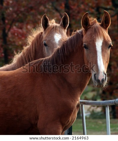 Two Arabian colts - stock photo