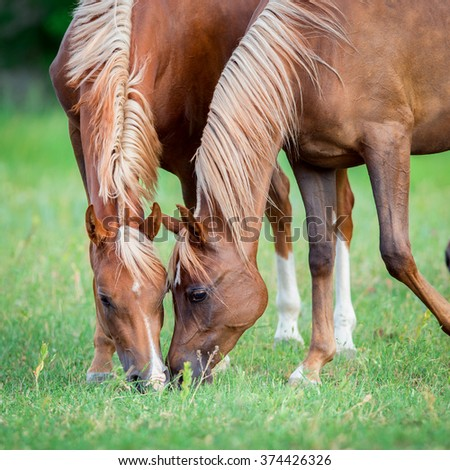 Two Arabian horses eating green grass in field, square photo. - stock photo