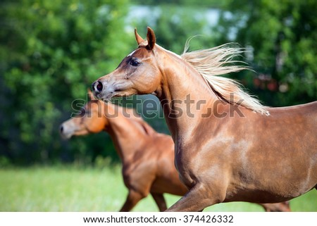 Two Arabian horses running freedom in field, summer background. - stock photo