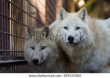 Two Arctic wolfs (Canis lupus arctos) in captivity - stock photo