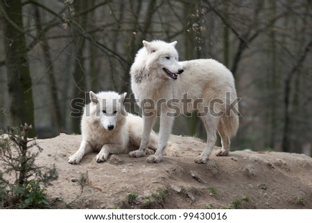 Two Arctic Wolves - stock photo