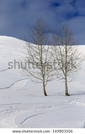 Two aspen trees with ski tracks in the background, Utah, USA. - stock photo