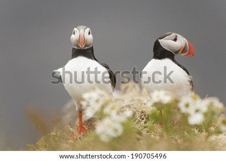 Two Atlantic Puffin  in Dyrholaey - Iceland
