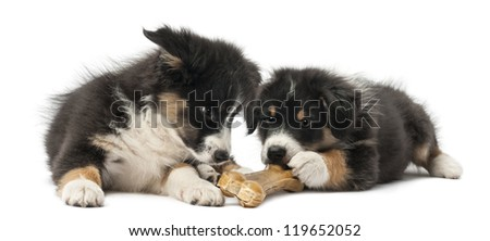 Two Australian Shepherd puppies, 2 months old, lying and eating knuckle bone against white background - stock photo