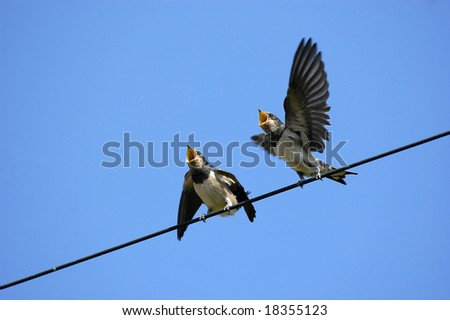 Two babies swallows attend the mother - stock photo