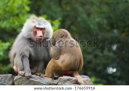 Two baboons sitting on rocks and catching fleas - stock photo