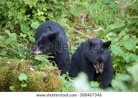 Two baby bear cubs playing in the forest - stock photo