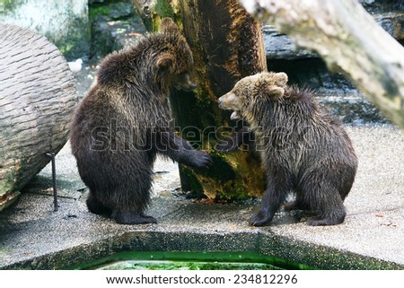 Two baby bears playing in the zoo. - stock photo