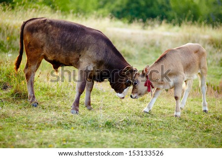 Two baby calves standing in the field and playing - stock photo