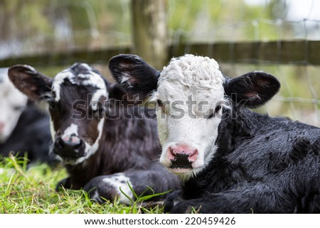 Two baby cow calves resting - stock photo