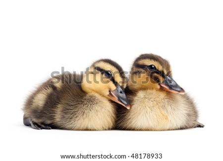 two baby ducks isolated on white - female Mallard ducklings closeup (Anas platyrhynchos) - stock photo