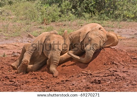 Two baby elephants lie on red clay heap with bushes in background. Sheldrick Elephant Orphanage in Nairobi, Kenya.