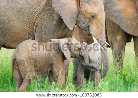Two baby elephants playing, Masai Mara, Kenya