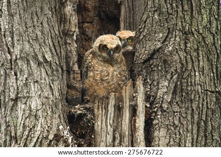 Two baby Great Horned Owls sitting in an old tree - stock photo
