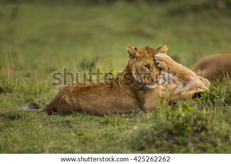 Two baby lion are playing on the grass. One of them lying back on grasses. The other one is sitting. Paw of oneâ??s on the others face.