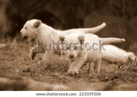 Two baby lion cubs exploring in this sepia tone image. - stock photo