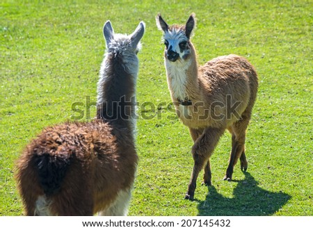 Two baby llamas facing each other outdoors on a sunny day - stock photo
