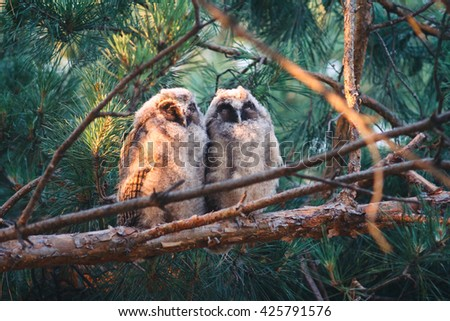 Two baby long eared owls sleeping on a branch. Two young long eared owls (Asio otus) sitting and sleeping on a branch of pine tree. Pair of owlets are sleeping at sunrise in the morning. - stock photo