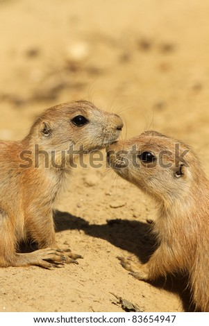 Two baby prairie dogs kissing - stock photo