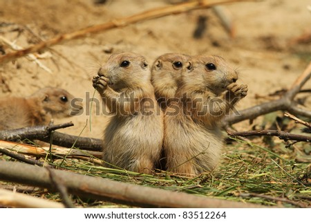 Two baby prairie dogs standing upright and eating