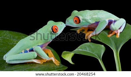 Two baby red-eyed tree frogs are kissing. - stock photo