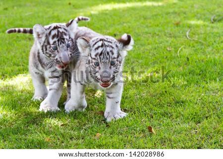 Two Baby White Tiger. - stock photo