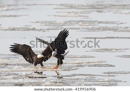 Two bald eagles fight over a fish  on the ice on the Mississippi River along the Great River Road  near Alton, Illinois. - stock photo
