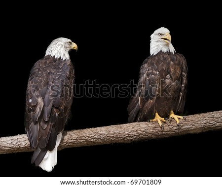 two bald eagles sitting on a branch with a black background - stock photo