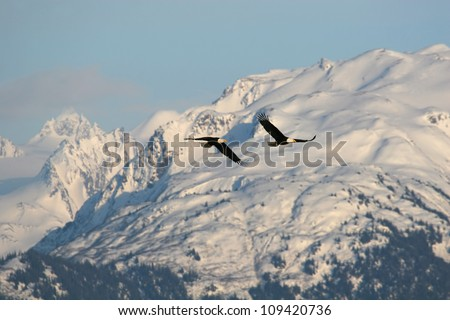 Two Bald Eagles soar in the mountains. - stock photo