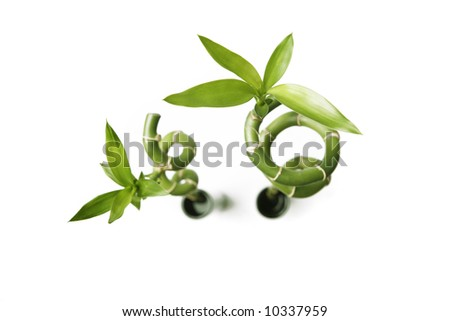 Two bamboos plants - stock photo