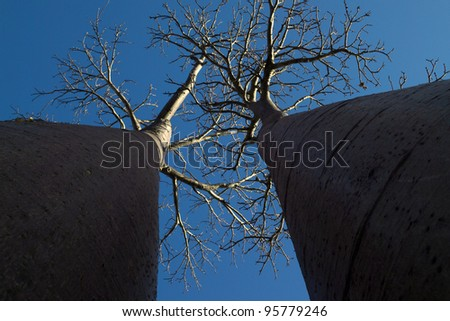 two baobab trees photographed with perspective from below with blue sky background - stock photo