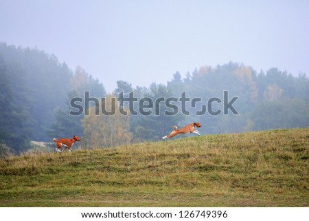Two Basenji dogs in autumn meadow - stock photo