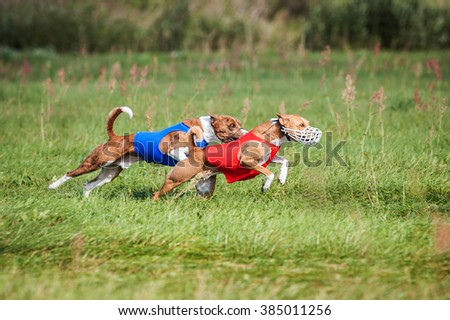 Two basenji dogs running on lure coursing competition - stock photo