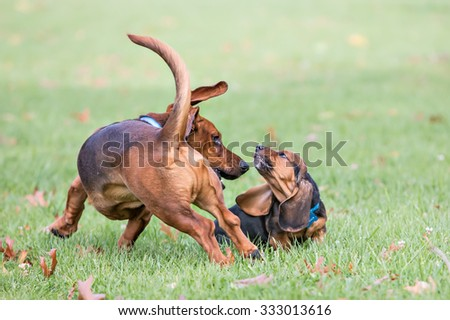 Two Basset Hounds running and playing