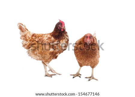 Two battery hens on a white background - stock photo