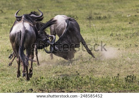 Two battling Wildebeests about to smash their heads against each other seen from a side view.  - stock photo