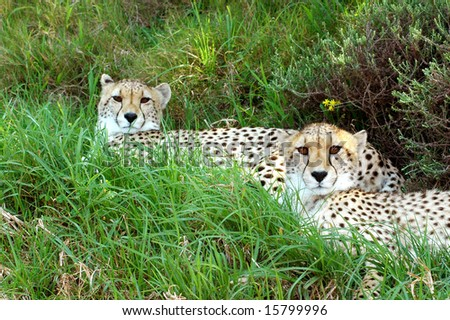 Two beautiful African Cheetah head portraits - stock photo