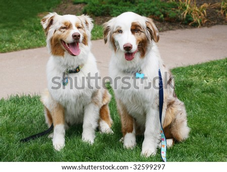 two beautiful australian shepherd dogs