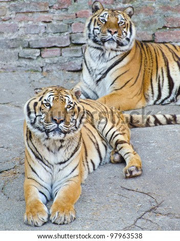 Two beautiful Bengal tigers resting