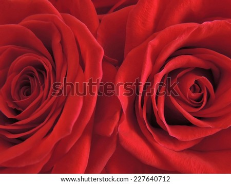 Two beautiful blooming red rose closeup.