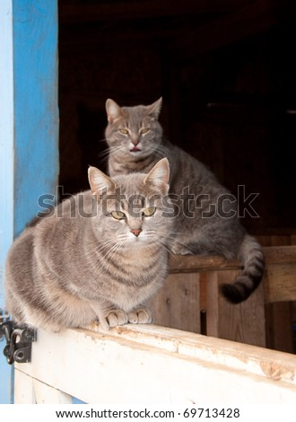 Two beautiful blue tabby cats resting at a barn door - stock photo