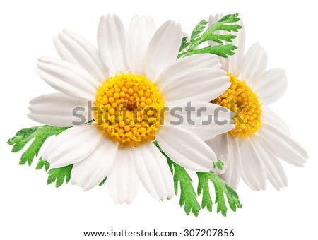 Two beautiful camomiles on white background. File contains clipping paths. - stock photo