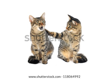 two beautiful European cat on a white background - stock photo