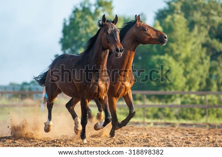 Two beautiful horses galloping together in sunset - stock photo