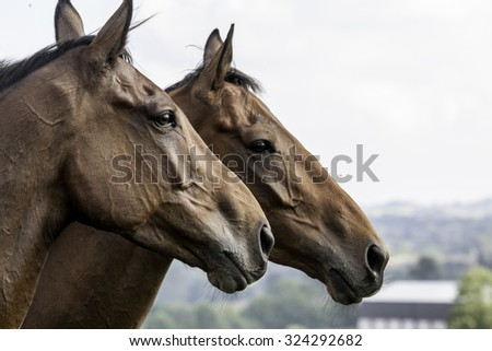 two beautiful horses (head-shot), together