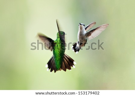 Two beautiful hummingbirds in flight doing their playful mating dance or fighting on a green blurred background of vegetation plants. - stock photo