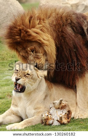two beautiful lions making love - stock photo